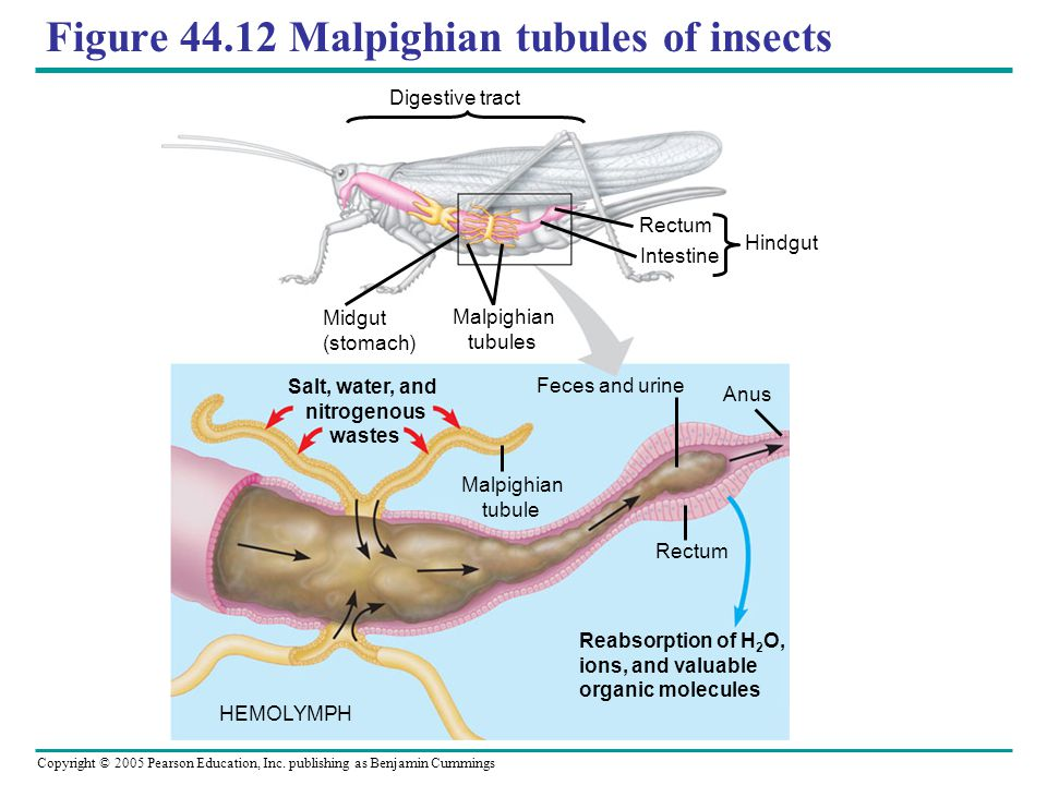 Figure 44.12 Malpighian tubules of insects