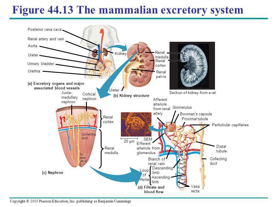 Figure 44.13 The mammalian excretory system