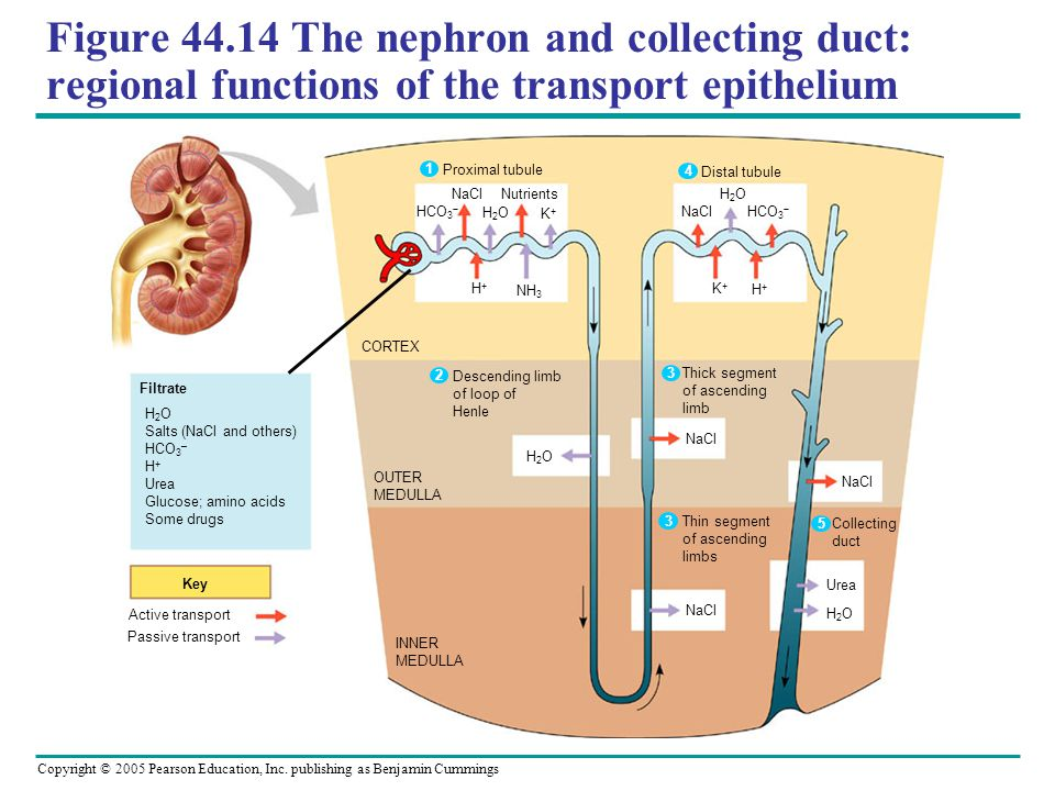 Figure 44.14 The nephron and collecting duct: regional functions of the transport epithelium