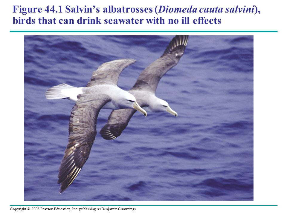 Figure 44.1 Salvin's albatrosses (Diomeda cauta salvini), birds that can drink seawater with no ill effects