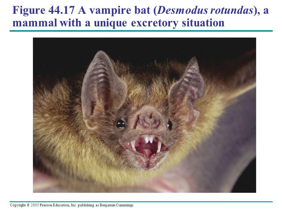 Figure 44.17 A vampire bat (Desmodus rotundas), a mammal with a unique excretory situation