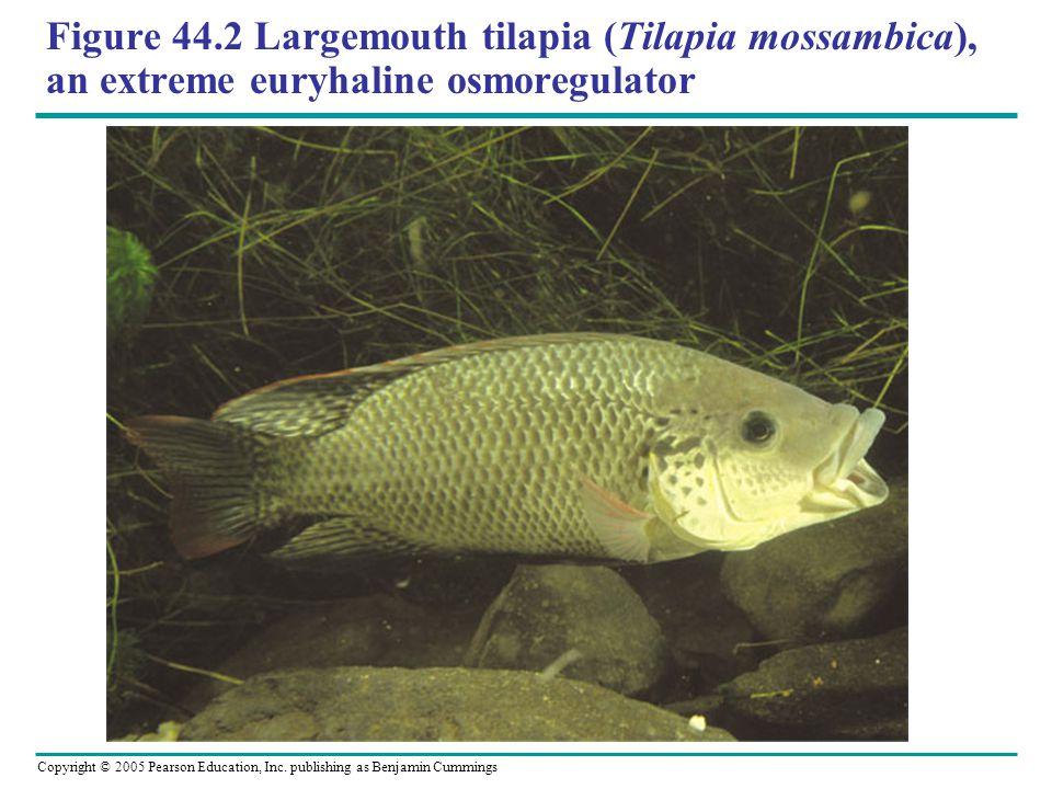 Figure 44.2 Largemouth tilapia (Tilapia mossambica), an extreme euryhaline osmoregulator