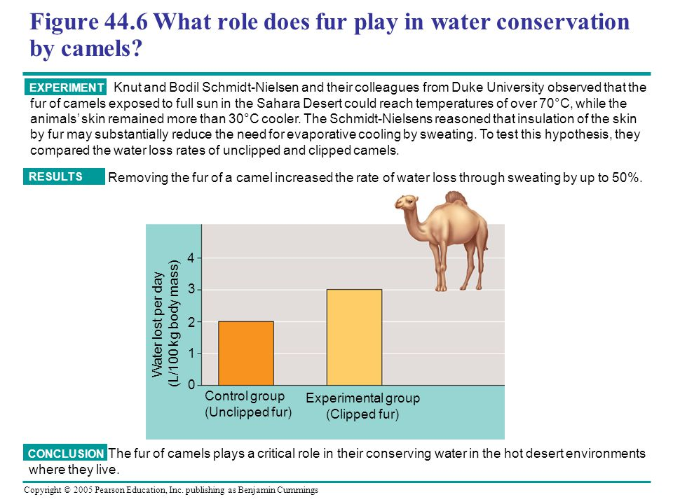 Figure 44.6 What role does fur play in water conservation by camels