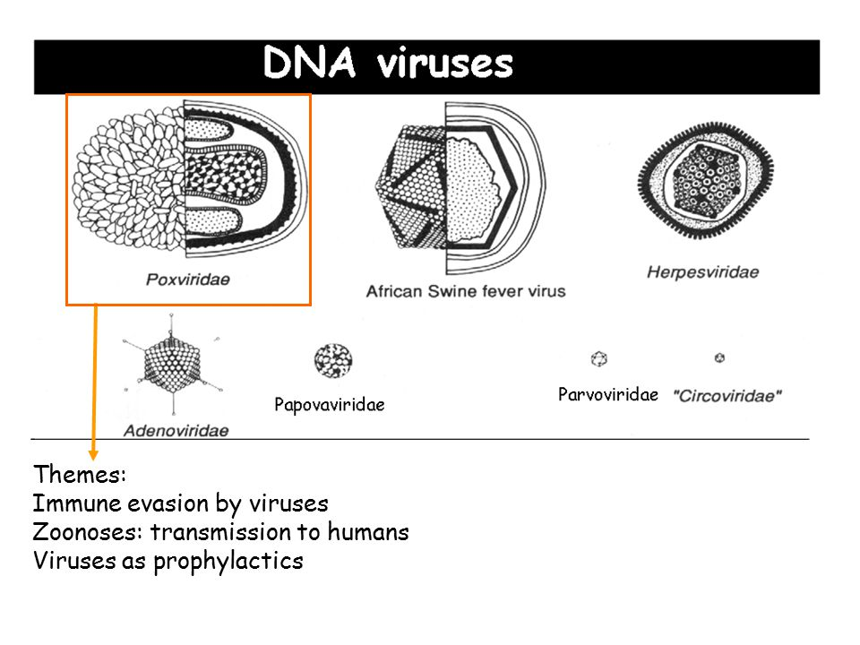 Themes: Immune evasion by viruses Zoonoses: transmission to humans Viruses as prophylactics