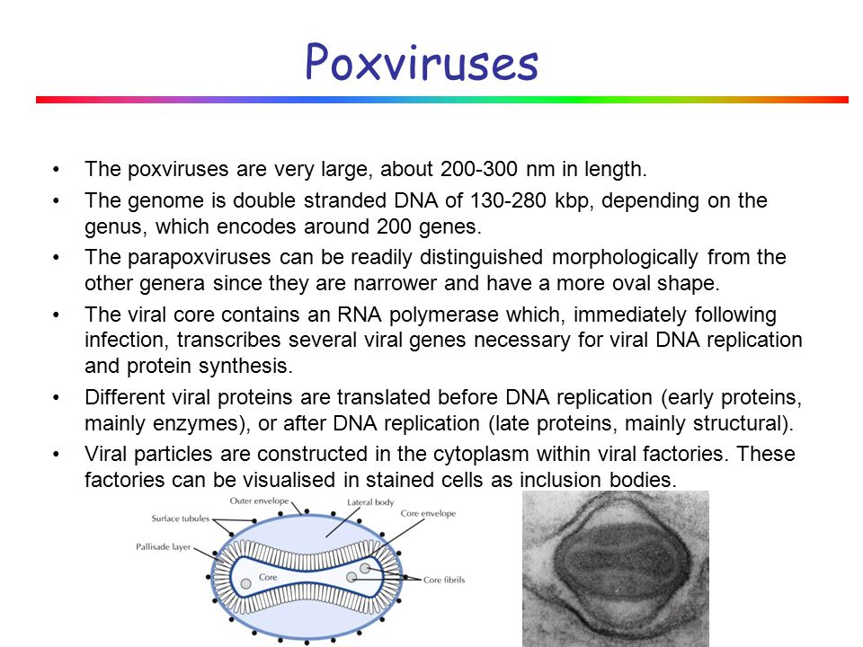 Poxviruses The poxviruses are very large, about 200-300 nm in length.