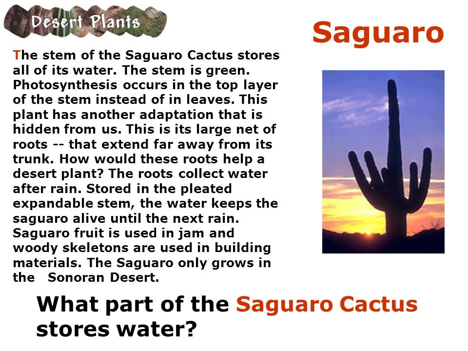 Saguaro What part of the Saguaro Cactus stores water