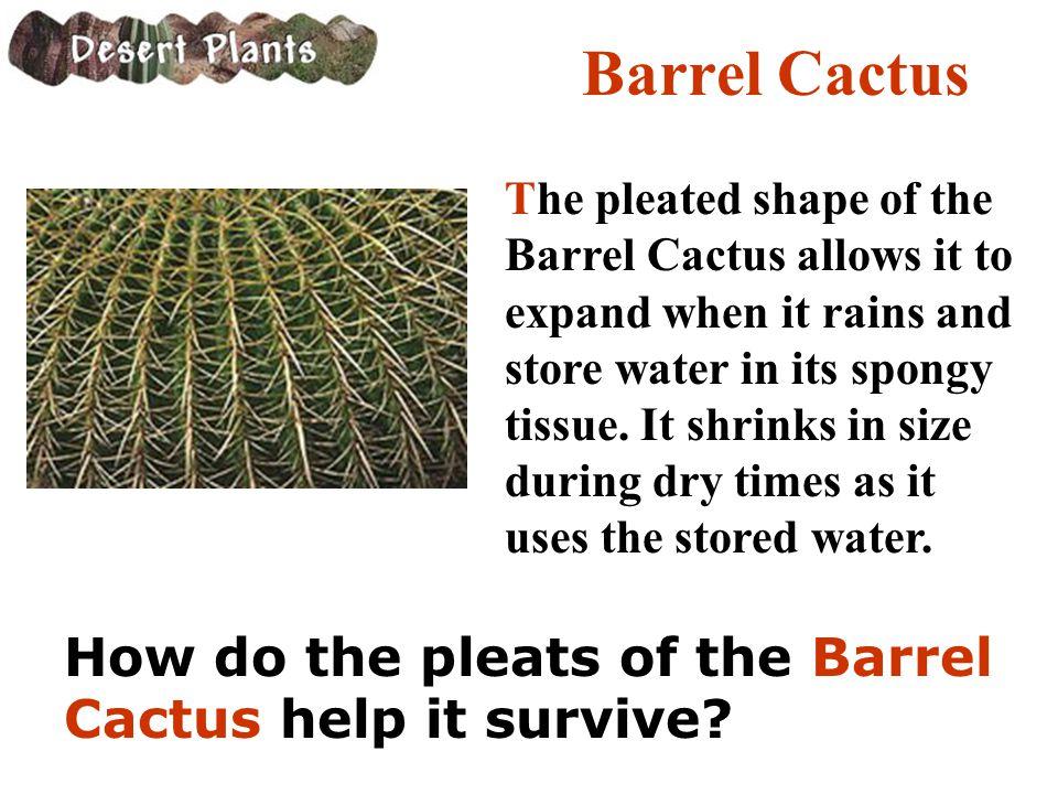 Barrel Cactus How do the pleats of the Barrel Cactus help it survive