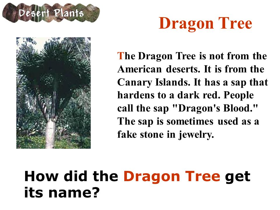 Dragon Tree How did the Dragon Tree get its name