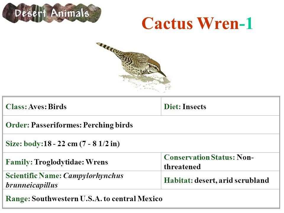 Cactus Wren-1 Class: Aves: Birds Diet: Insects