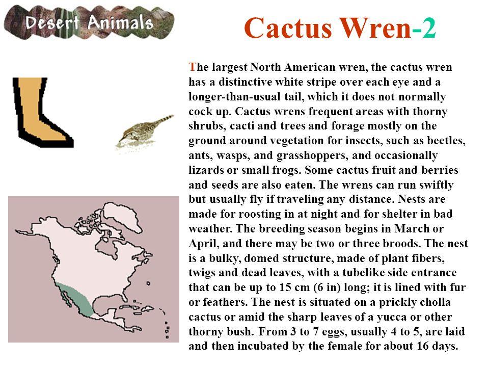 Cactus Wren-2