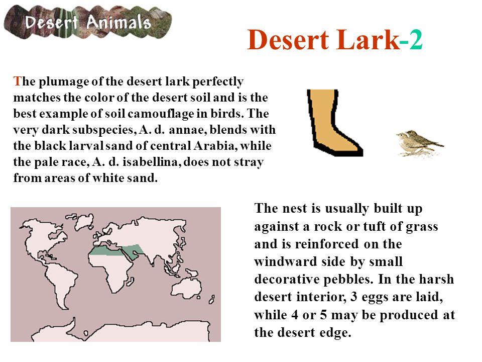 Desert Lark-2