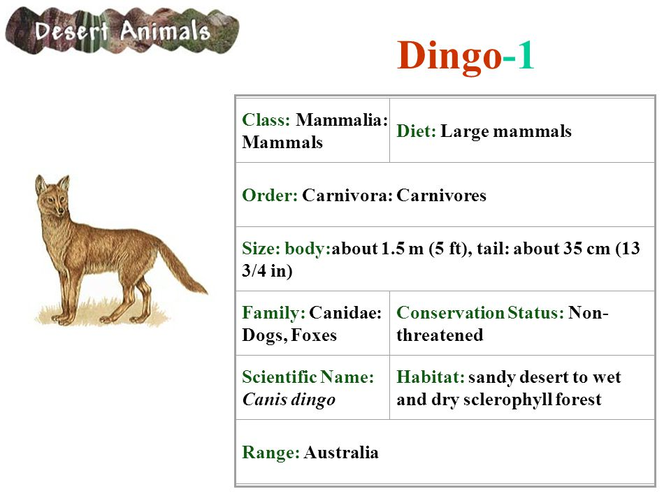 Dingo-1 Class: Mammalia: Mammals Diet: Large mammals