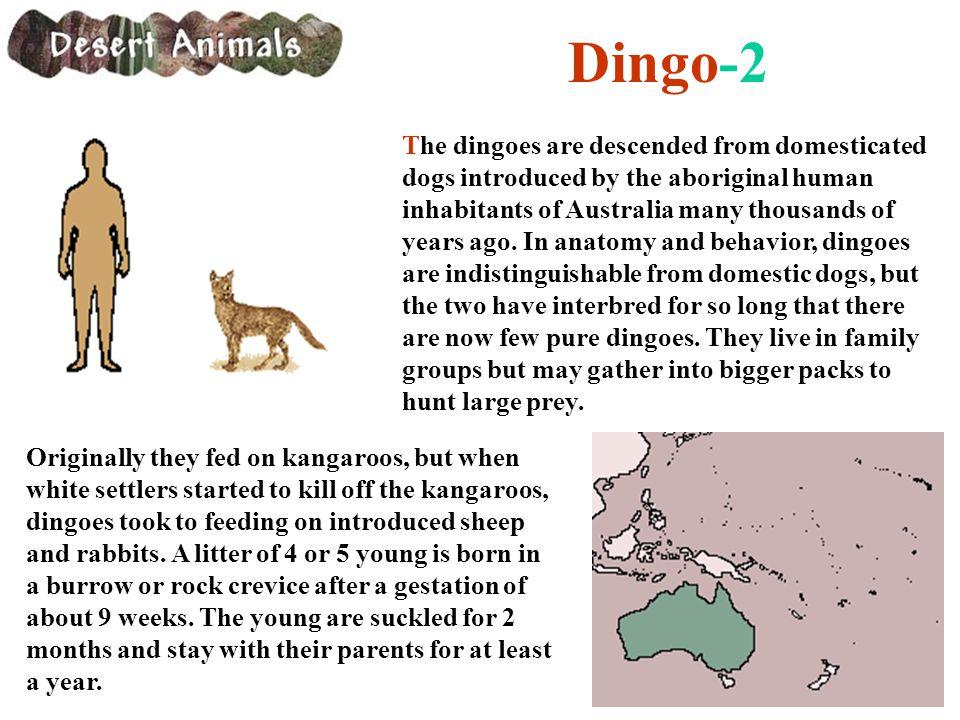 Dingo-2