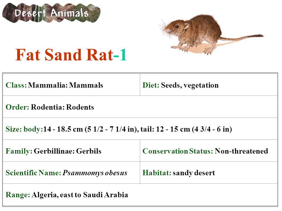 Fat Sand Rat-1 Class: Mammalia: Mammals Diet: Seeds, vegetation