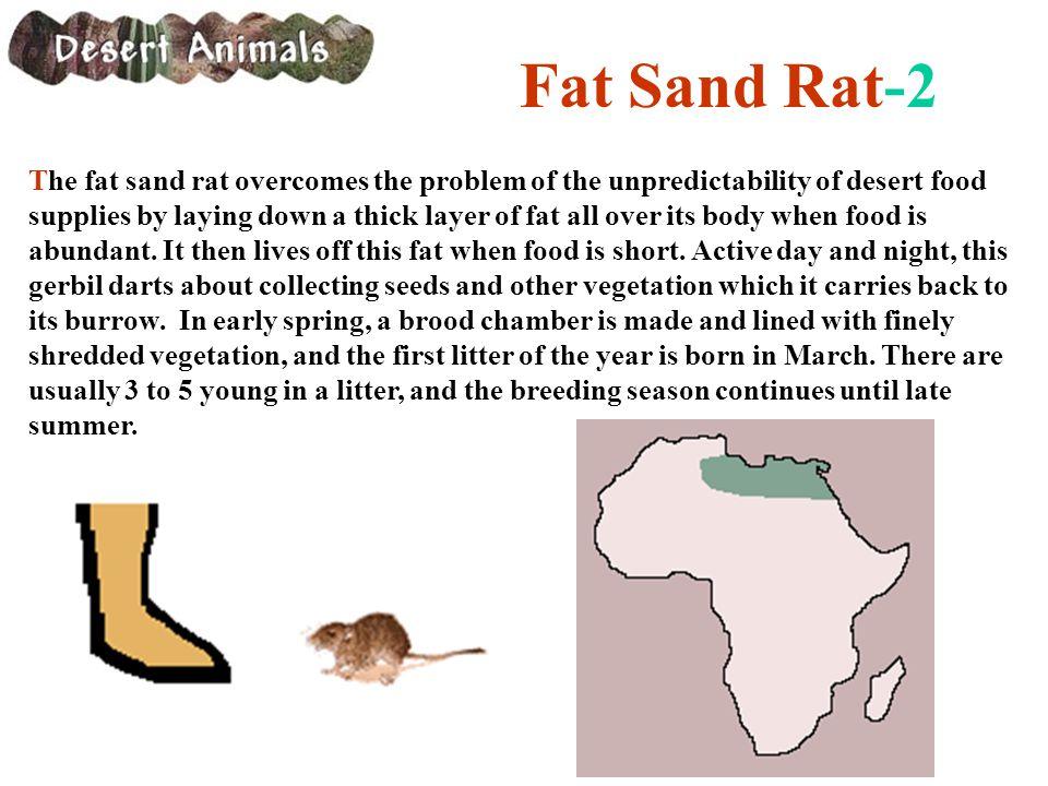 Fat Sand Rat-2