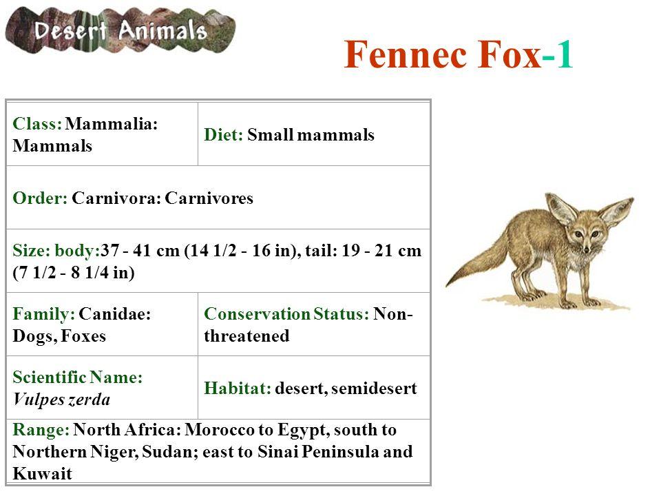 Fennec Fox-1 Class: Mammalia: Mammals Diet: Small mammals
