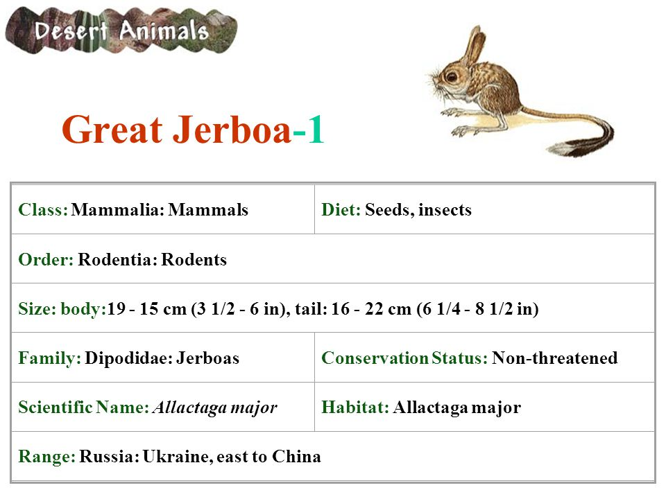 Great Jerboa-1 Class: Mammalia: Mammals Diet: Seeds, insects