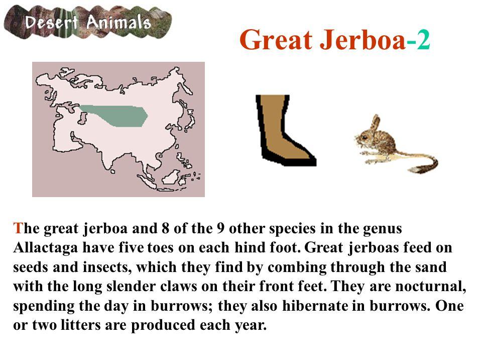 Great Jerboa-2