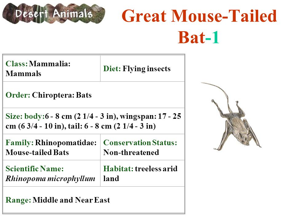 Great Mouse-Tailed Bat-1