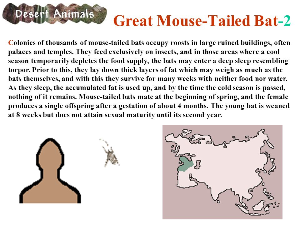 Great Mouse-Tailed Bat-2