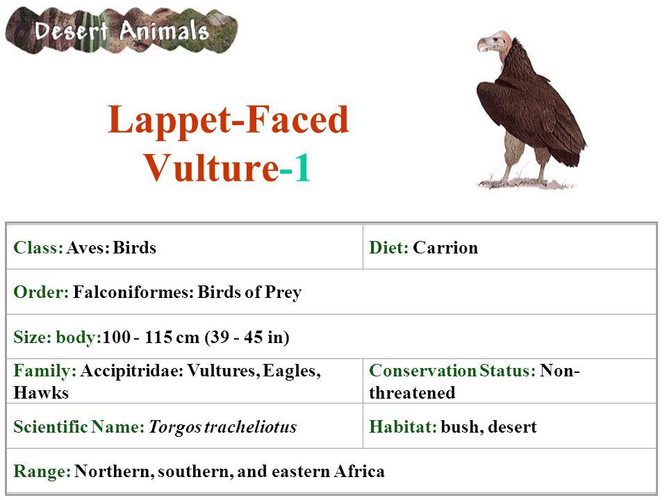 Lappet-Faced Vulture-1