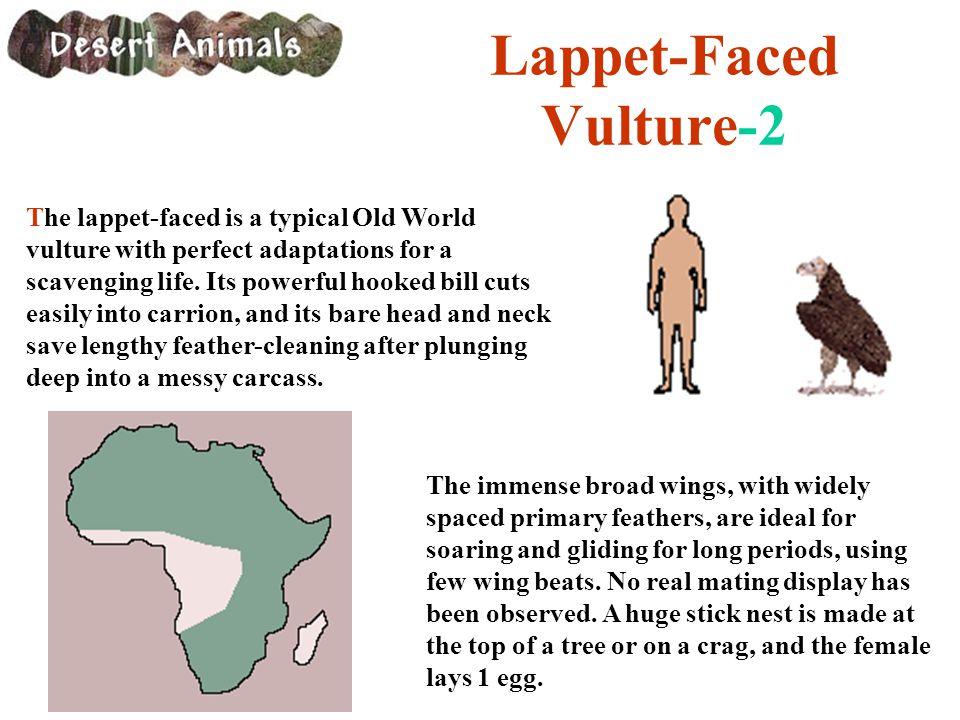 Lappet-Faced Vulture-2