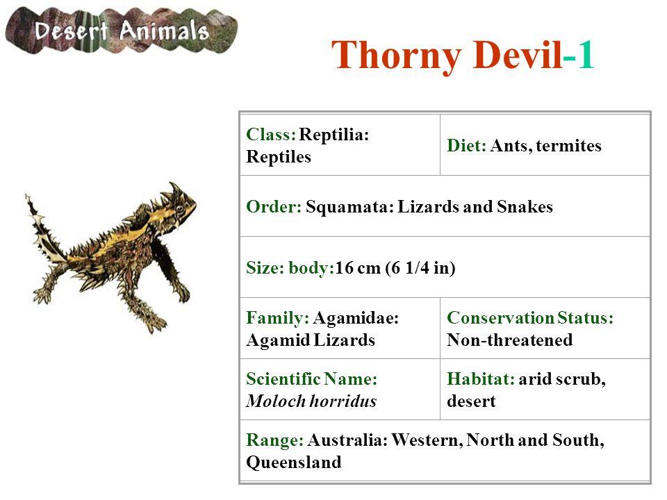 Thorny Devil-1 Class: Reptilia: Reptiles Diet: Ants, termites