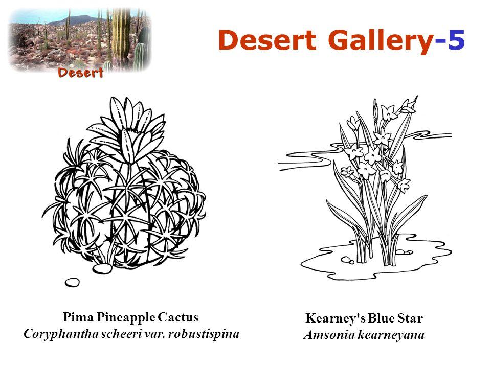 Desert Gallery-5 Pima Pineapple Cactus Coryphantha scheeri var.