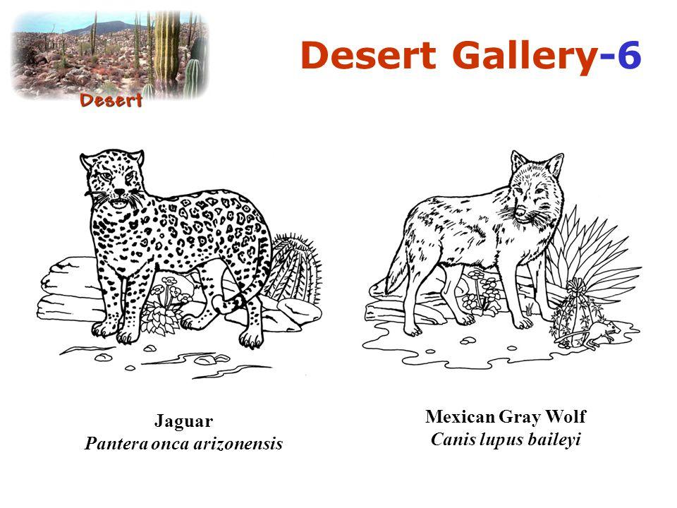 Mexican Gray Wolf Canis lupus baileyi Jaguar Pantera onca arizonensis