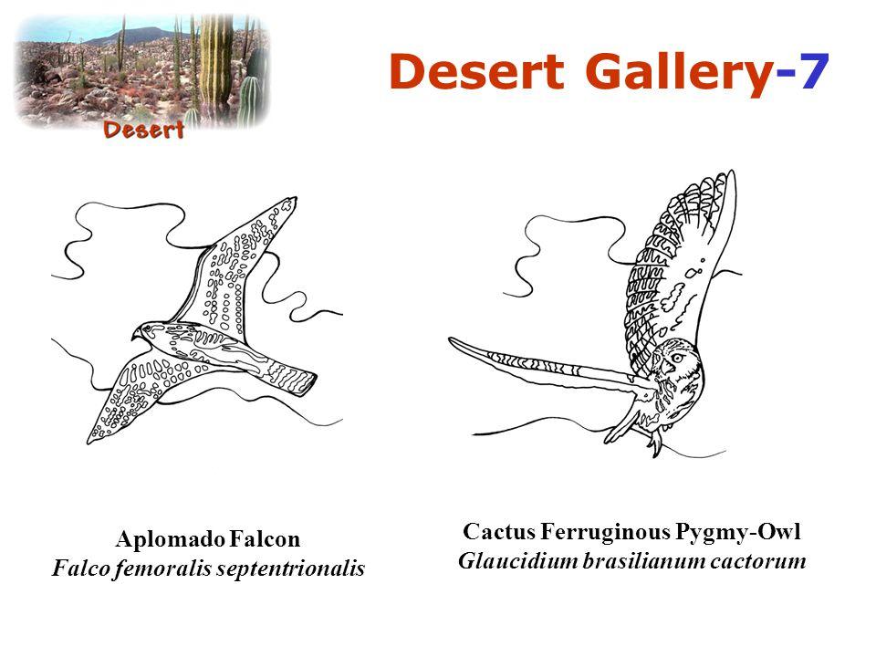 Desert Gallery-7 Cactus Ferruginous Pygmy-Owl Glaucidium brasilianum cactorum.