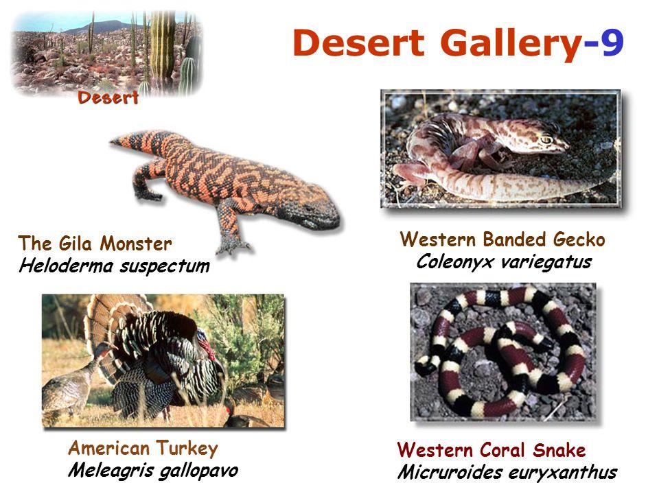 Desert Gallery-9 Western Banded Gecko
