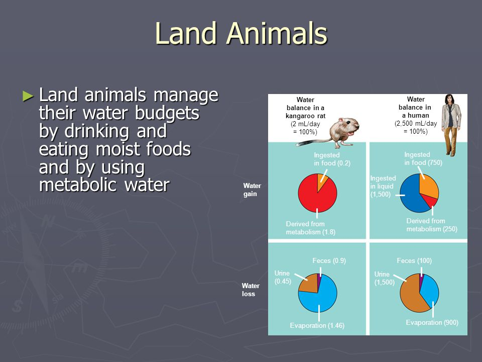 Land Animals Land animals manage their water budgets by drinking and eating moist foods and by using metabolic water.