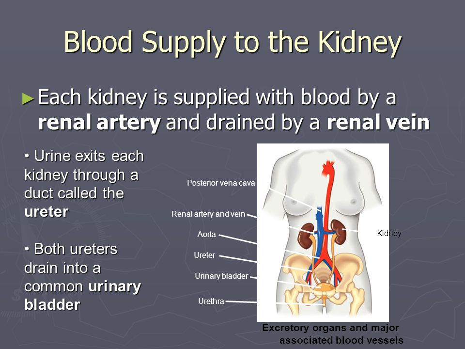 Blood Supply to the Kidney