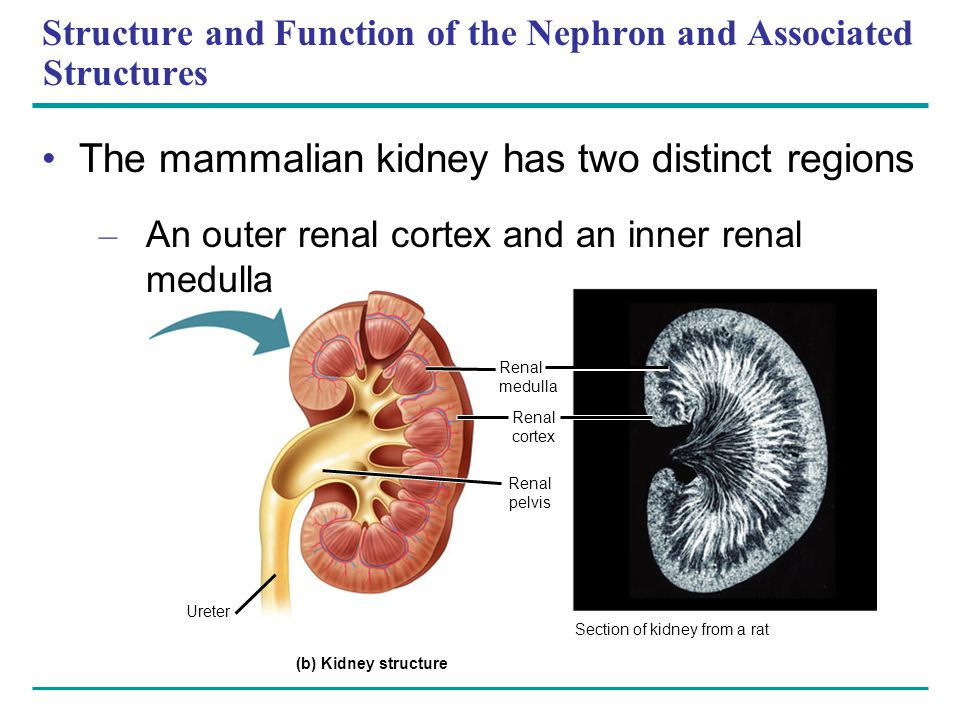 Structure and Function of the Nephron and Associated Structures