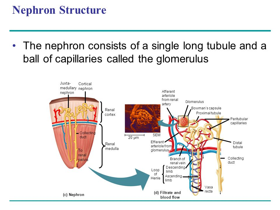 Nephron Structure The nephron consists of a single long tubule and a ball of capillaries called the glomerulus.