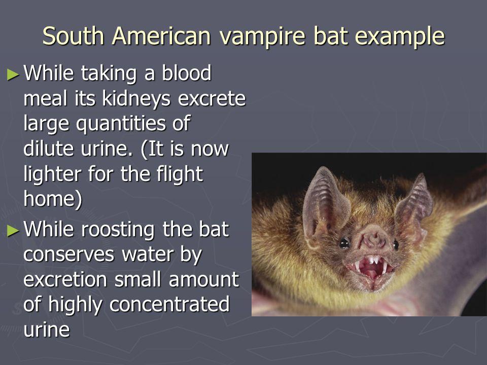 South American vampire bat example