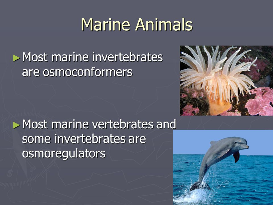 Marine Animals Most marine invertebrates are osmoconformers