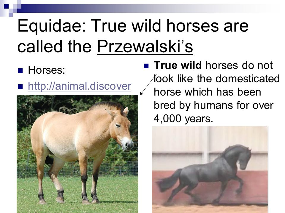 Equidae: True wild horses are called the Przewalski's