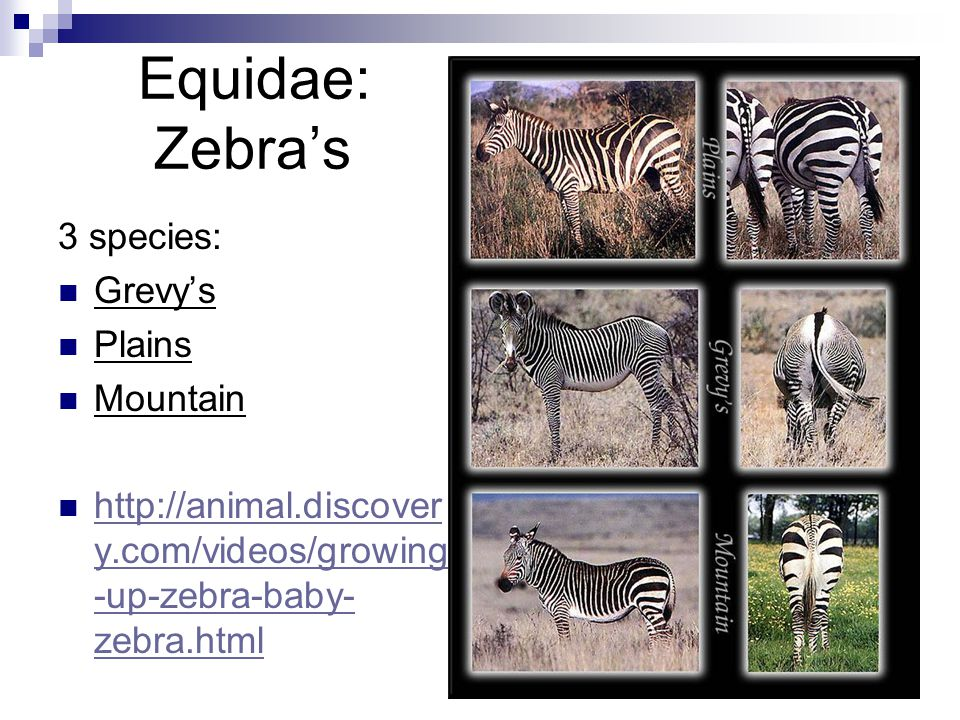 Equidae: Zebra's 3 species: Grevy's Plains Mountain