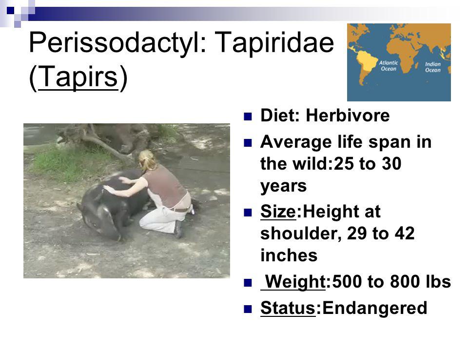 Perissodactyl: Tapiridae (Tapirs)