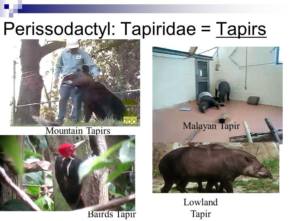 Perissodactyl: Tapiridae = Tapirs