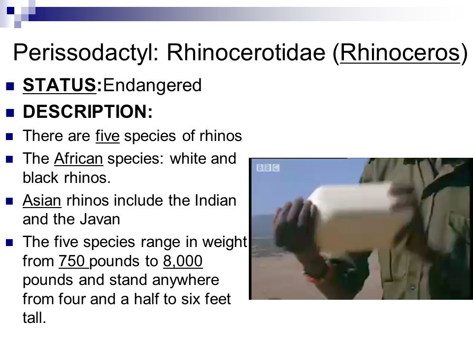 Perissodactyl: Rhinocerotidae (Rhinoceros)