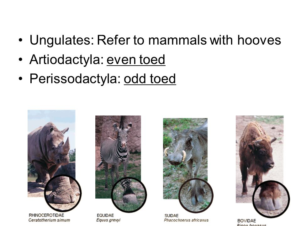 Ungulates: Refer to mammals with hooves
