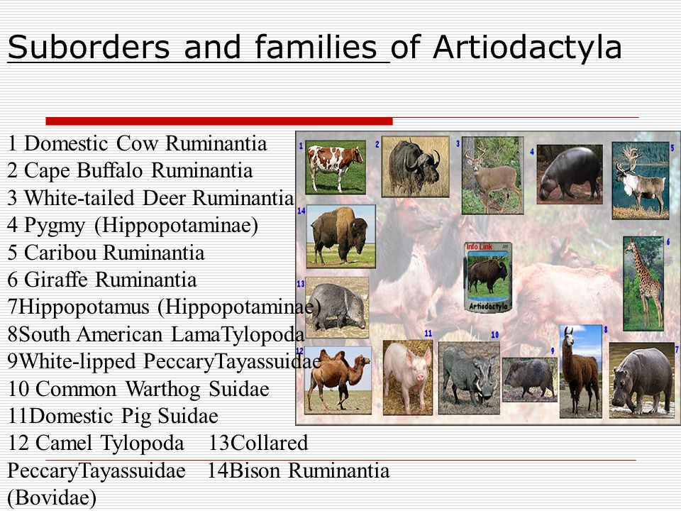 Suborders and families of Artiodactyla
