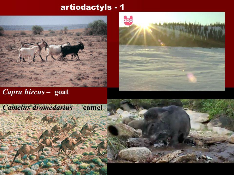 artiodactyls - 1 Capra hircus – goat. Cervus timorensis - rusa.