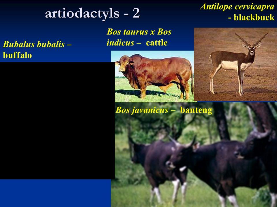 artiodactyls - 2 Antilope cervicapra - blackbuck