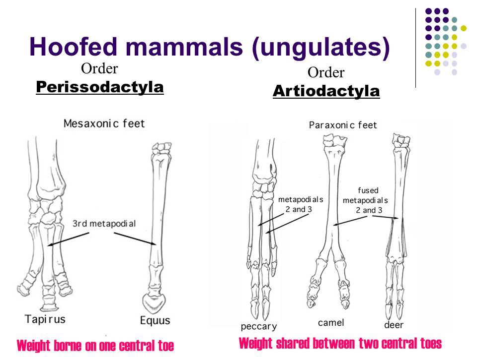 Hoofed mammals (ungulates)