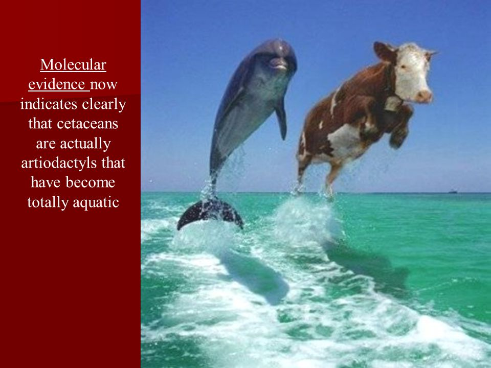 Molecular evidence now indicates clearly that cetaceans are actually artiodactyls that have become totally aquatic