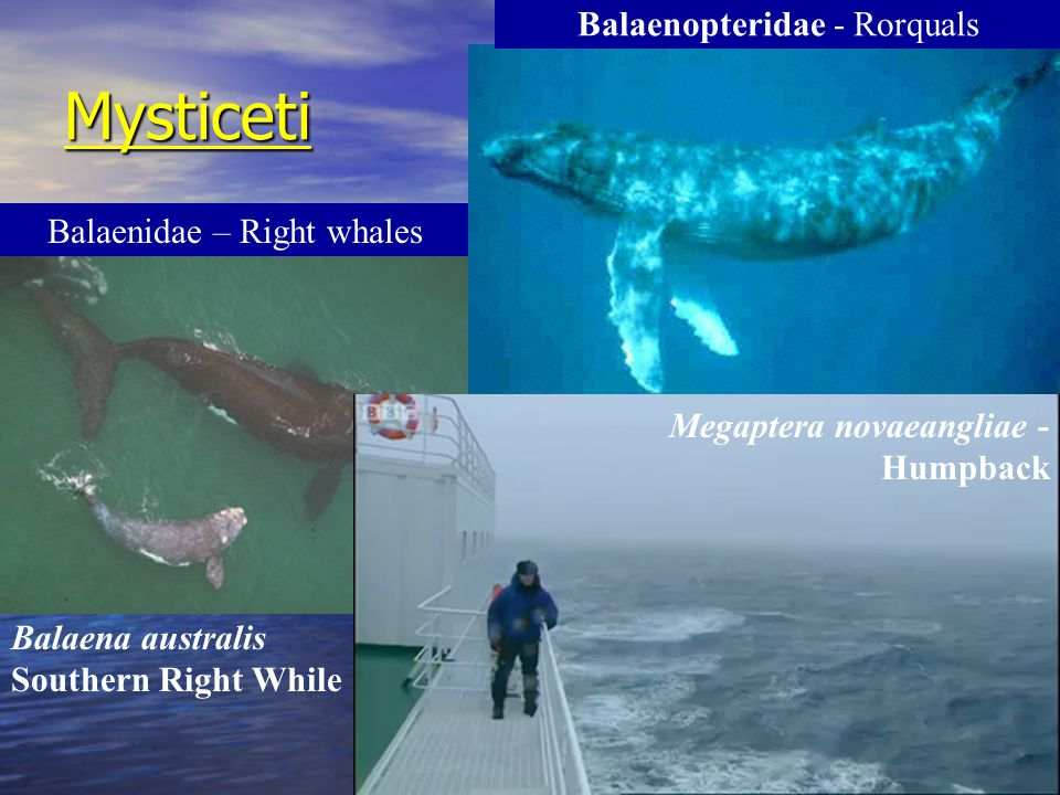 Mysticeti Balaenopteridae - Rorquals Balaenidae – Right whales