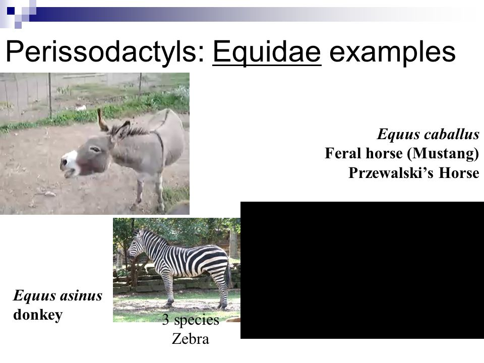 Perissodactyls: Equidae examples